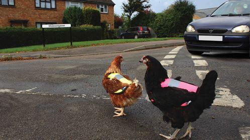 Warnwesten jetzt auch für Hühner-